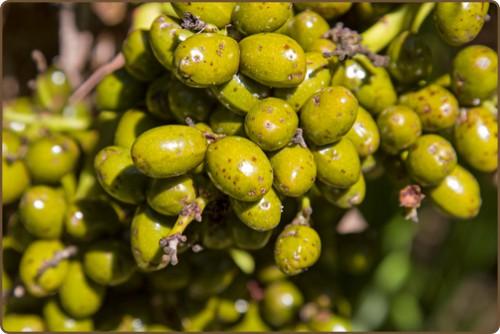Plody palmy trpasličí